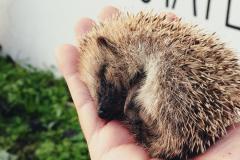 Hedgehog rescue Azores