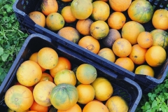Oranges from the estate