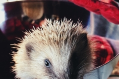 One of our rescued hedgehogs