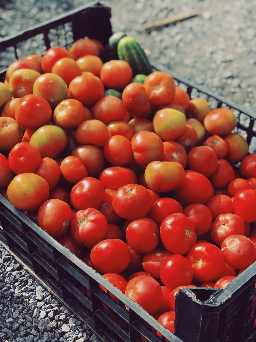 Fresh, organic tomatoes at The Solar Branco Eco Estate