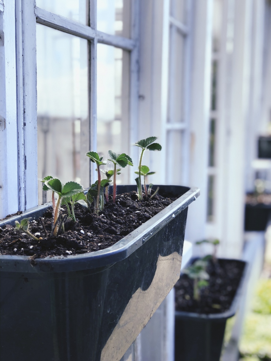 Strawberries growing in the Botanical House