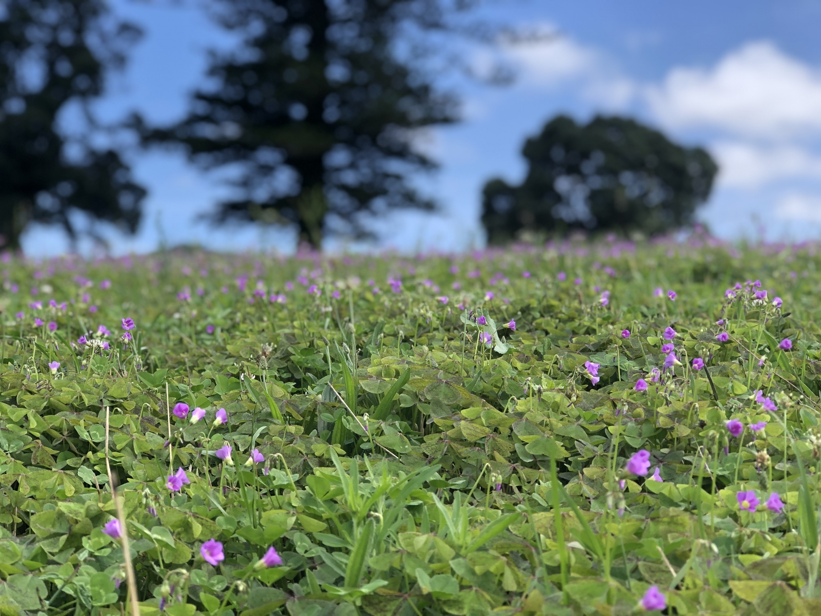 Summer brings out the clover in the field