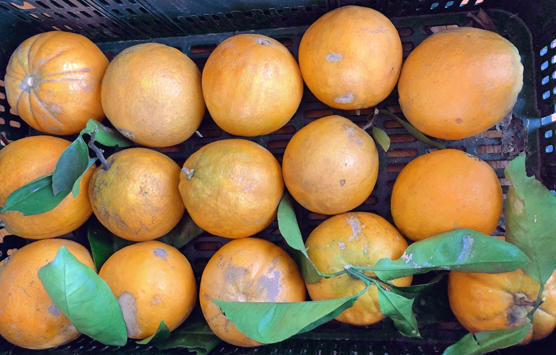 Organic oranges here at the Solar Branco Eco Estate