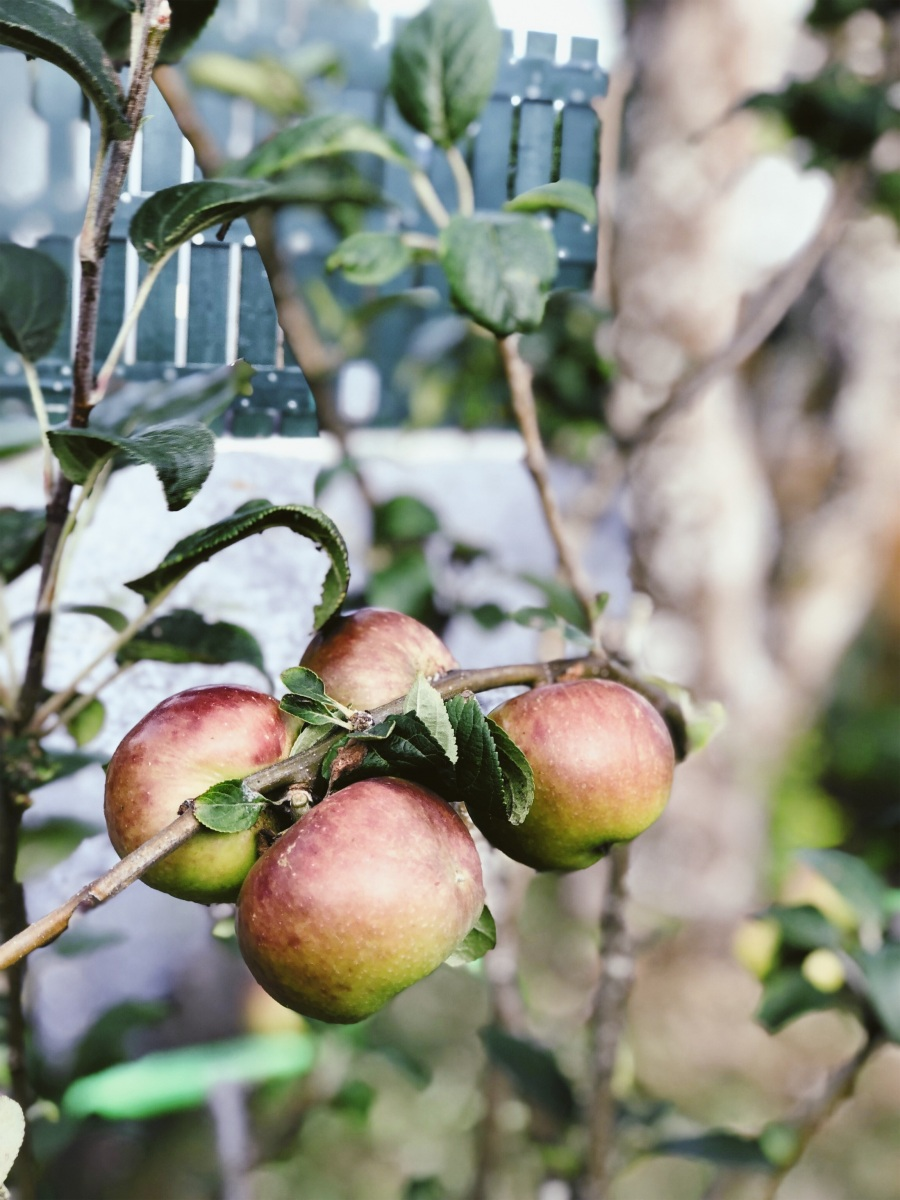 Organic apples growing on the estate