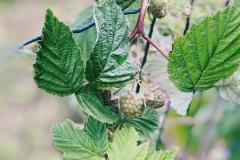 Raspberries starting to fruit