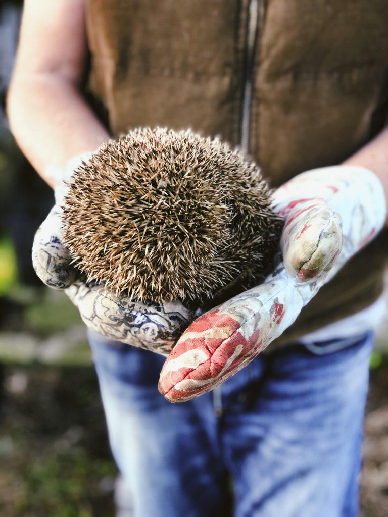 Hedgehog rescue - Azores