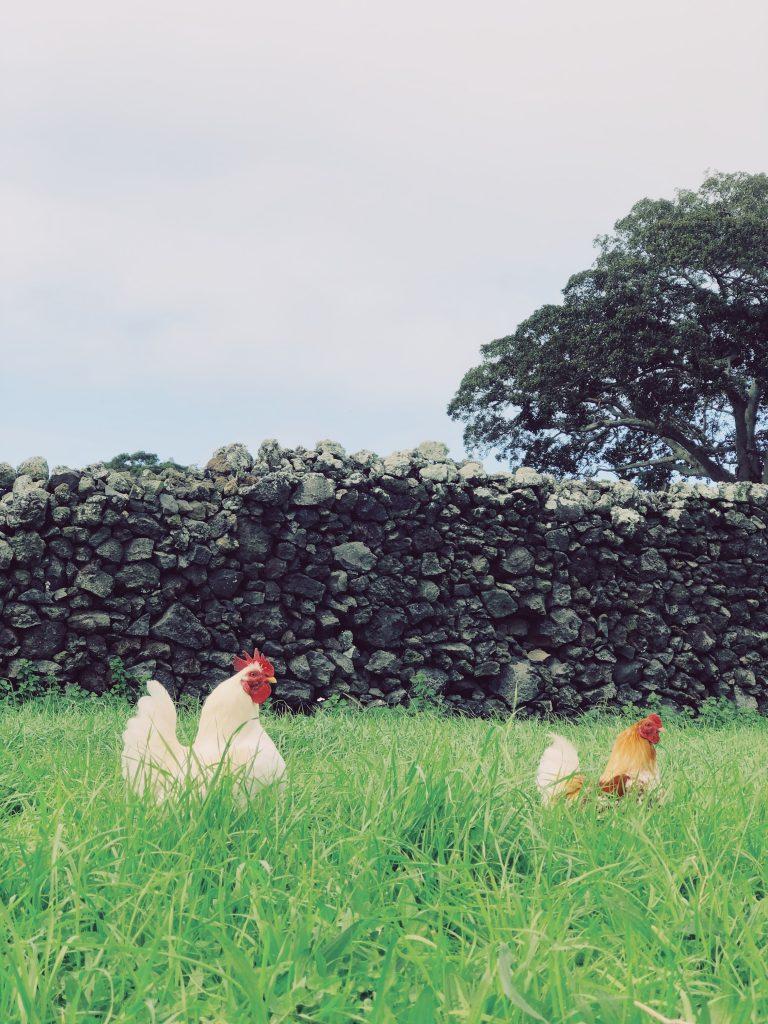 Chickens on the Solar Branco Eco Estate