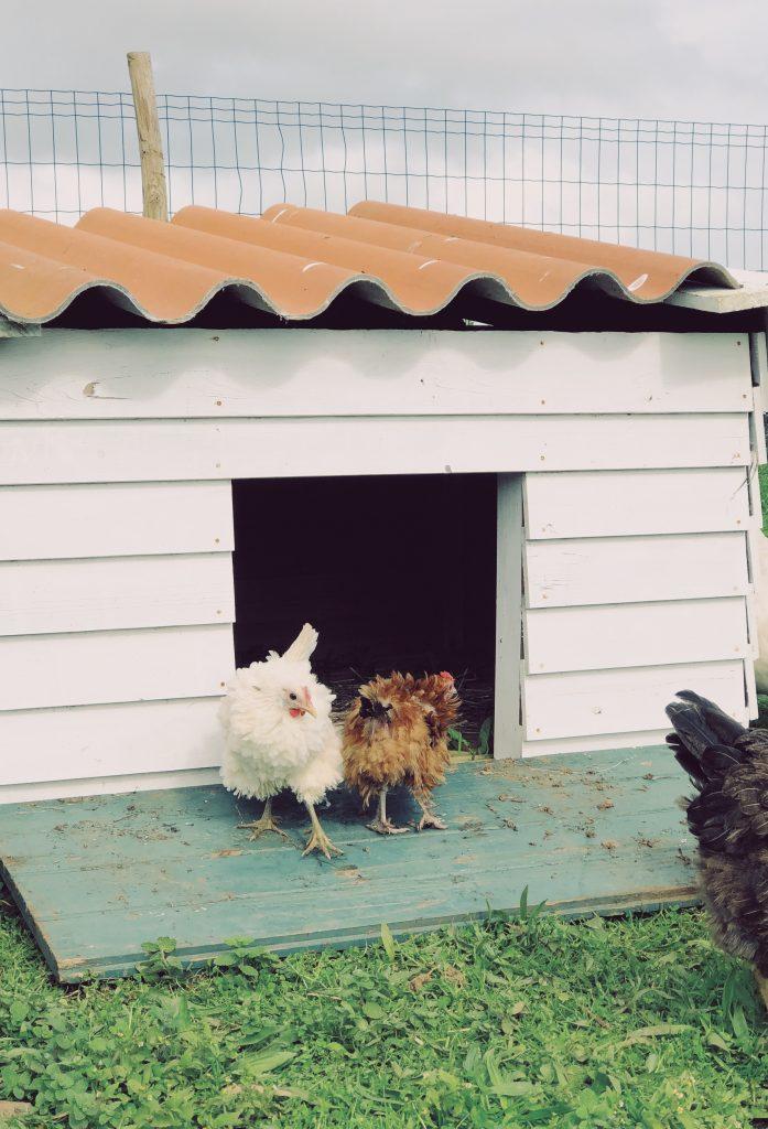 Chickens at the Solar Branco Eco Estate