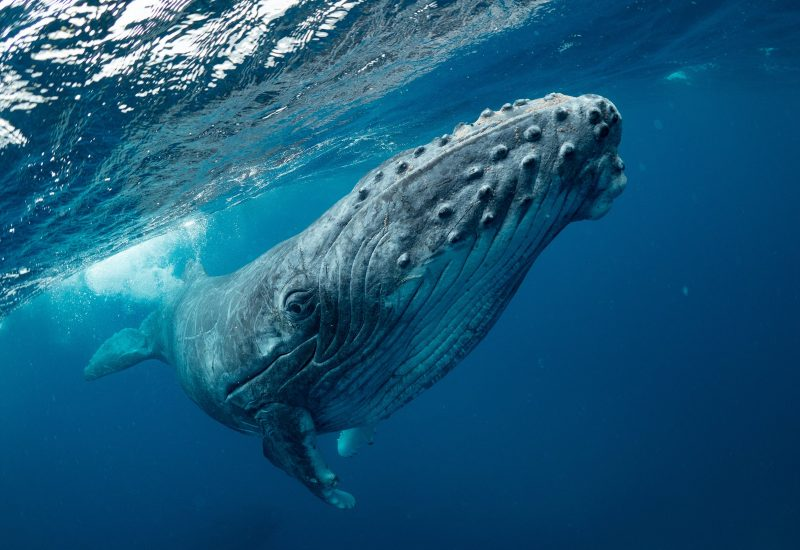 humpback-whale-facts